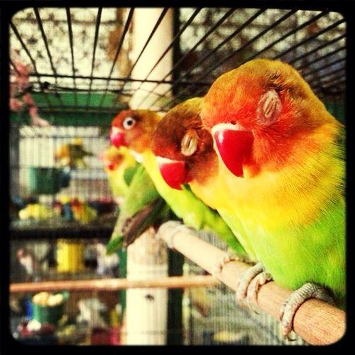 Pasar pramuka Lovebirds