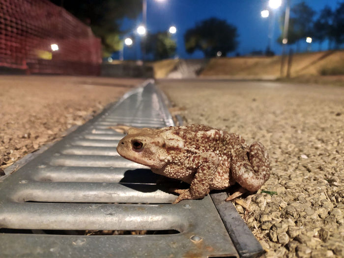 Close-up of lizard on road at night