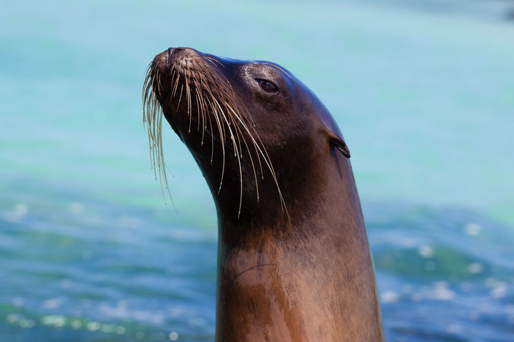 Galapagos Sea Lion Portrait Galapagos Islands Profile Animal Head  Animal Themes Animals In The Wild Aquatic Mammal Blue Planet Close-up Curious Day Dog Face Focus On Foreground Nature No People One Animal Outdoors Playful Portrait Resting Sea Sea Life Sea Lion Water Whisker This Is Latin America