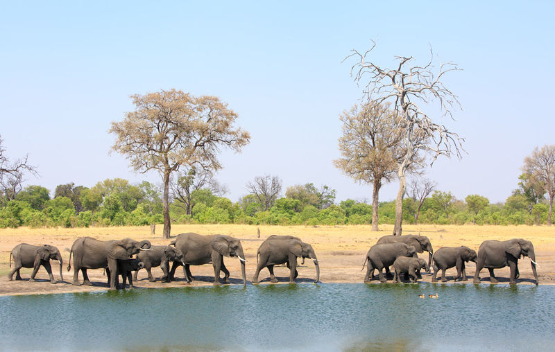 Animal Wildlife Animal Animals In The Wild Animal Themes Mammal No People Nature Outdoors National Park Africa Wildlife Animals In The Wild Beauty In Nature Group Of Animals Elephant Large Group Of Animals Animal Family African Elephant Hwange National Park