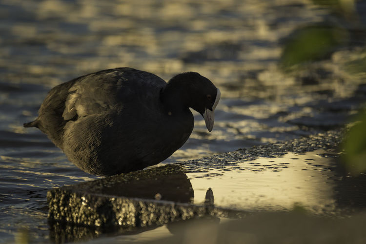 Animal Animal Themes Animal Wildlife Animals In The Wild Bird Black Color Close-up Coot Day Lake Nature No People One Animal Outdoors Reflection Selective Focus Swimming Vertebrate Water