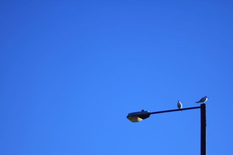 Copy Space Low Angle View Blue Clear Sky Lighting Equipment No People Electricity  Day Outdoors Bird Perching Seagull Lamp Post Streetlights