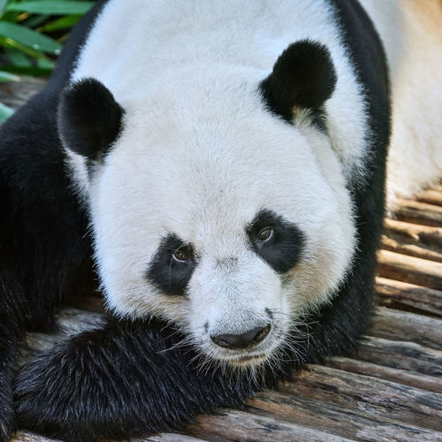 Cute giant panda. Habitat Species Animal Themes Animal Wildlife Animals In The Wild Bamboo Bear Chaina Close-up Cute Day Endanger Endangered Species Forest Giant Panda Mammal Nature No People One Animal Oriental Outdoors Panda Panda - Animal Zoo Zoology