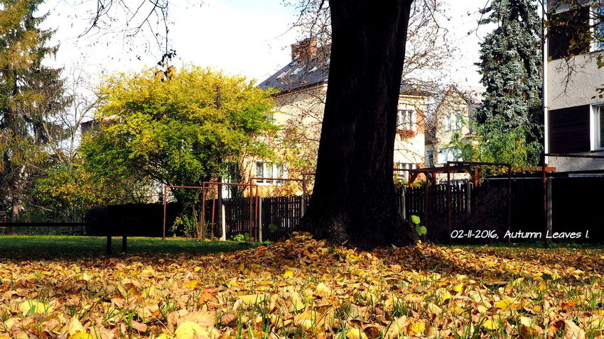 Autumn leaves in front of our house === Autumn Autumn Colors Autumn Leaves Beauty In Nature Czech Day EyeEm Nature Lover Grass Leaves Linden Tree Nature No People Outdoors Plant Tree