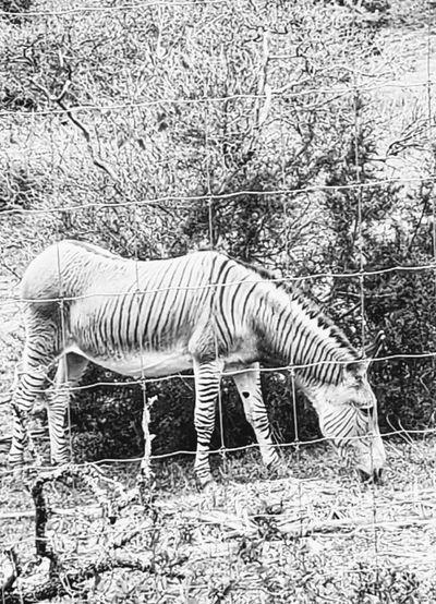 Zonkey Zebra