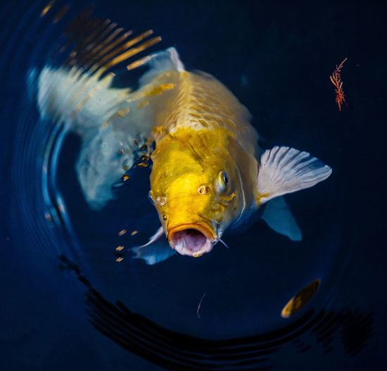 Close-up of fish swimming in lake
