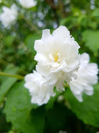Flower White Color Close-up Nature Petal Day Fragility No People Flower Head Plant Focus On Foreground Outdoors Jasmin Jasmine Flower Jasmine Tea Herbal Sun Raindrops Rain Afterrain After Rain Beauty In Nature Freshness Growth EyeEmNewHere