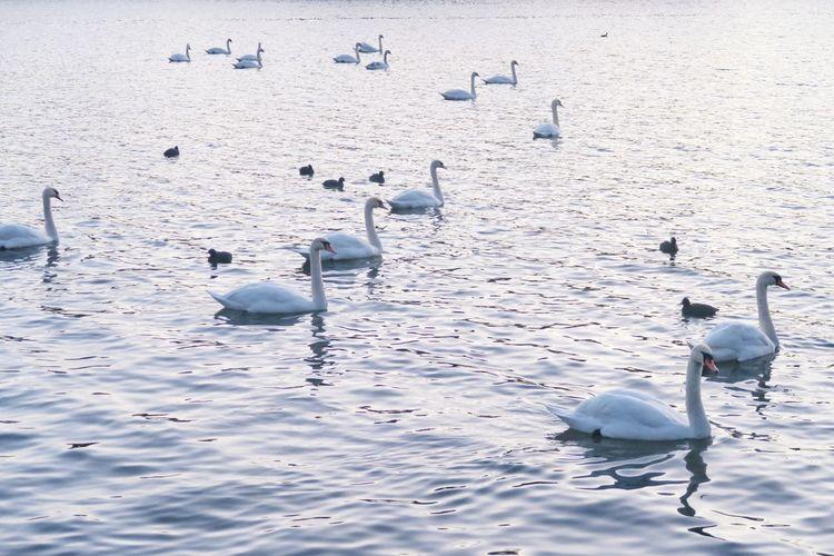 swan group and ducks on water, cologne, Decksteiner Weiher Flamingo Flock Of Birds