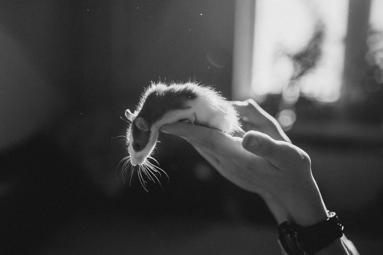 Close-up of hand holding a pet of rat