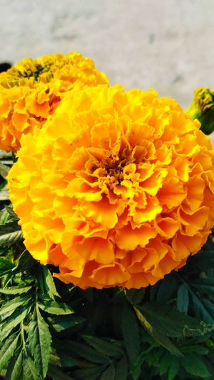 Yellow French Marigold Beautiful Yellow French Marigold Nature Yellow Freshness Fragility Flower Head No People