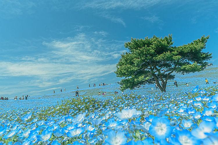 『例の丘』 Beauty In Nature Blue Cloud - Sky Clouds And Sky Eye4nature Eye4photography  EyeEm Gallery EyeEm Nature Lover Nemophila Scenics Sky Tranquil Scene Tranquility Turquoise Colored Nemofira