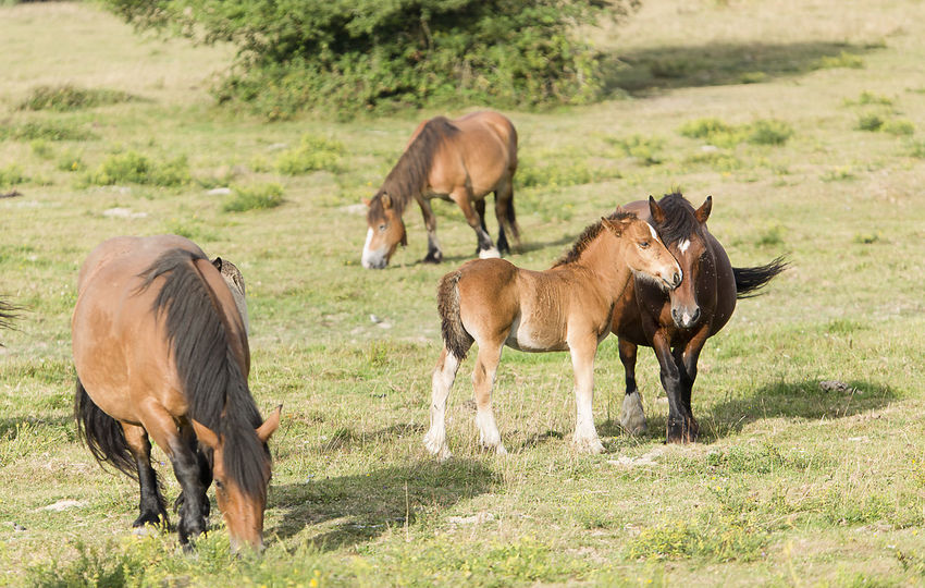 Horses grazing in summer in Navarra, Spain. Grass Horses Mare Navarre SPAIN Animal Animal Themes Animals In The Wild Brown Day Domestic Animals Field Foal Grass Grazing Horse Livestock Mammal Meadow Nature Navarra No People Outdoors Togetherness Tree Young Animal
