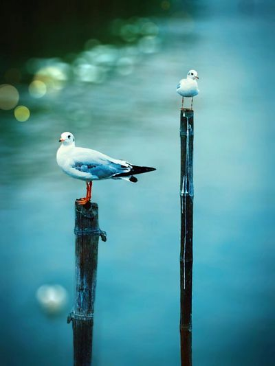High Angle View Of Seagulls Perching On Wooden Posts At River