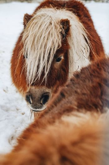 Pony Zoo Zoophotography Karelia Cold Temperature Winter Snow Portrait Animal Head  Animal Hair Animal Nose Animal Eye Animal Face