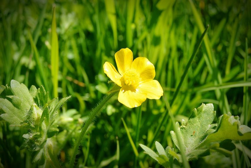 Boterbloem Buttercup Flower Buttercup Bloem Flower Yellow Flower Gele Bloem Delft Dutchflowers Dutch Landscape Dutch Nature Nederlandse Natuur NL Nederland Dutch Prettyflower Yellow Mobile Photography Smartphonephotography Natuurfotografie Nature Nature_collection Nature Photography Flower Collection Flower Photography