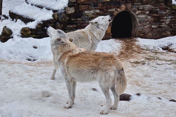 What Who Where Howling wolves Cold Temperature Winter Snow Animal Themes Weather Mammal Nature Animal Wildlife One Animal Field Outdoors Day No People Beauty In Nature Howling Howlingwolf Howling Wolves Wolf WOlves Wolves♥ Wolf Pack Wildlife & Nature Wild Animal Wild Animals Shades Of Winter