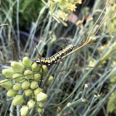 Milkweed Asclepias Caterpillar Animal Wildlife Insect Animals In The Wild Invertebrate Animal Themes Animal One Animal