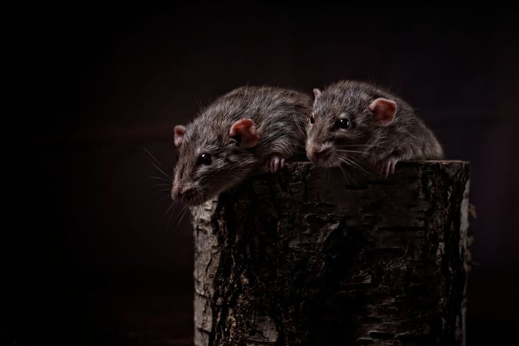Close-up of two rodents against black background