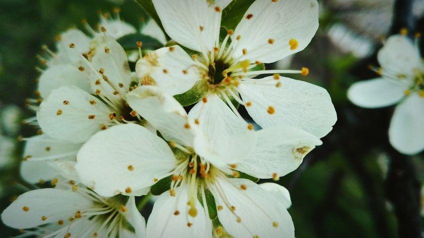 Flower Flowers Czereśnie Beautiful Spring Sad Drzewo Tree First Eyeem Photo