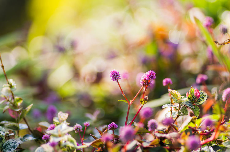 Beauty In Nature Close-up Day Flower Flower Head Fragility Freshness Growth Nature No People Outdoors Persicaria Capitata Plant