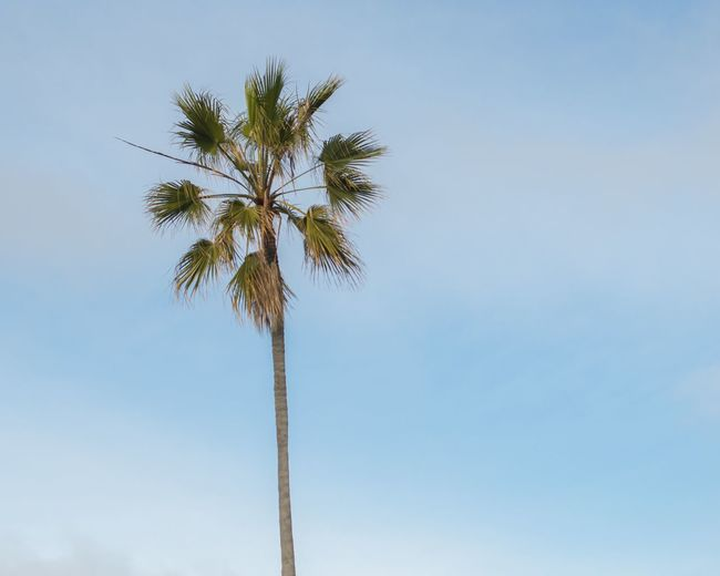 ©Amy Boyle Photography California Palm Tree Blue Cloud - Sky Lookingup Sky Trunk Tree
