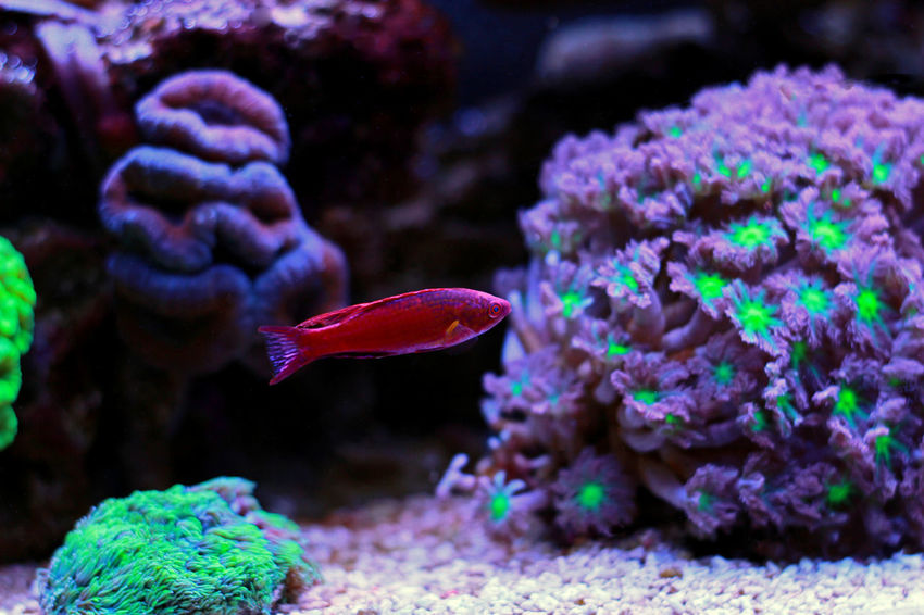Filamented Flasher Wrasse Filamented Wrasse Paracheilinius Sea Fish Tank Fishes Reef Aquatic Aquatic Life Aquarium Life Reeftank Aquarium Fish Aquaculture Fish Photography Coral Reef Fish Aquarium Photography Coral Reef Aquarium Animals In Captivity Aquarium Flasher Wrasse Wrasse Wrasse Fish Reef Tank Coral Fish Underwater
