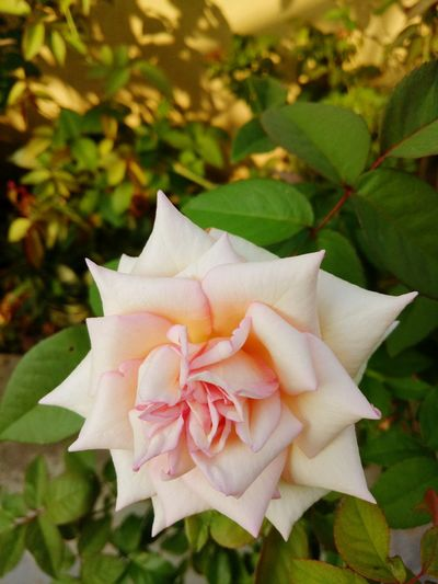 Flower Petal Flower Head Rose - Flower Beauty In Nature Plant No People Outdoors Close-up