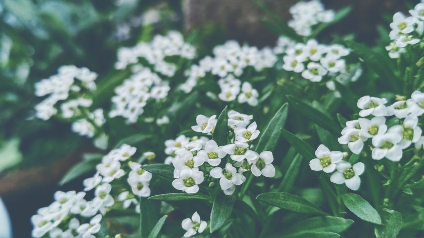 Flowers, Nature And Beauty Open Air Outdoors Photograpghy  Simple Beauty Fresh Flowers Nature Tranquillity Serene Beauty Eye Em Nature Lover Closeup In Nature