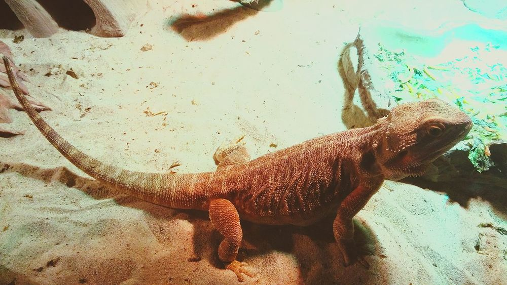 My Animals Animal Nature Bearded Dragon Holland Netherlands