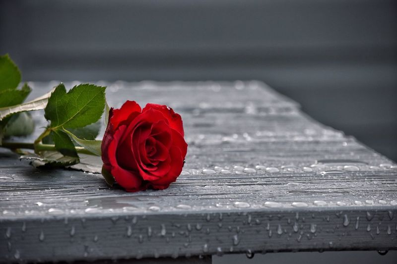 THE ROSE Flower Rose - Flower Red Petal Fragility Flower Head Close-up Freshness No People Outdoors Day