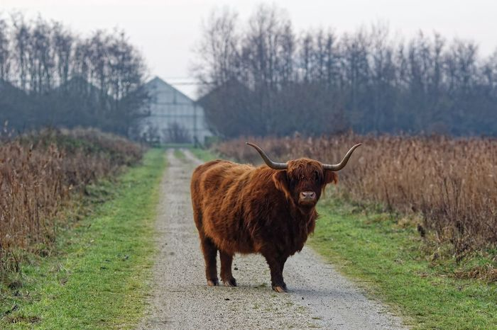 Alertness Animal Themes Blocking My Way Cattle Composition Cow Curiosity Day Domestic Animals Domestic Cattle Field Grass Grazing Herbivorous Highland Cattle Livestock Mammal No People One Animal Perspective Relaxation Relaxing Schotse Hooglanders Two Animals Zoology