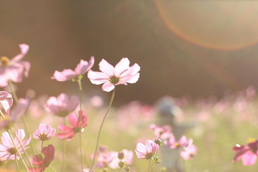 Enjoying Life Flower Collection Flowerlovers Pink Flower Flowers, Nature And Beauty コスモス Japan Photography