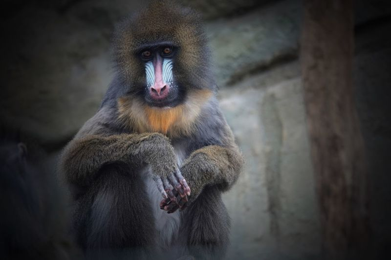 Mandrill Looking At Camera Old World Monkey Mandrillus Sphinx EyeEm Selects Animal Wildlife Primate Animals In The Wild One Animal No People Mammal Animals In Captivity Wall - Building Feature Focus On Foreground Portrait Close-up Selective Focus Baboon Outdoors Day Vertebrate Zoo