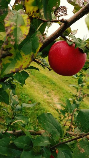 Fall Beauty Apples Apple Picking Autumn Autumn Activities Fall in Londonderry, New Hampshire Pmg_lon
