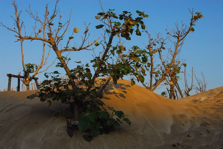 Sand Dune Tree