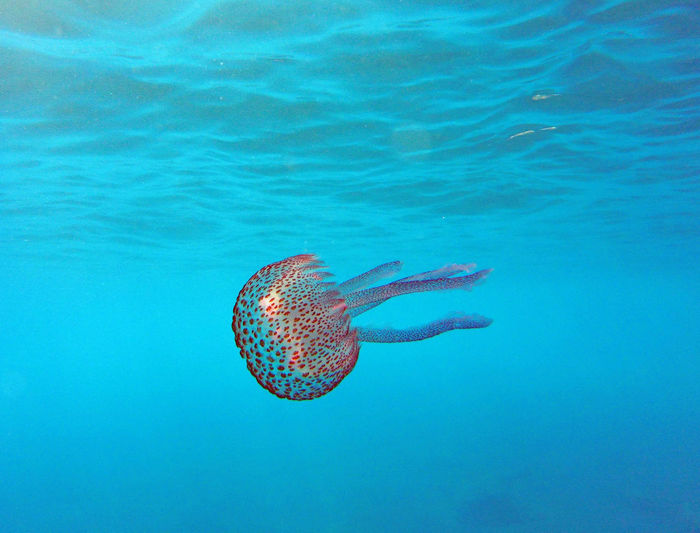 Wonderful jellyfish under blue water, pelagia noctiluca Diving Swimming Animal Themes Animal Wildlife Animals In The Wild Beauty In Nature Blue Close-up Day Jellyfish Nature No People Ocean One Animal Outdoors Pelagia Noctiluca Sea Sea And Sky Sea Life Swimming UnderSea Underwater underwater photography Water Wildlife