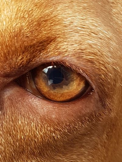 look into my eyes.... Magyar Vizsla Vizsla Dog Hund Fotografie Dogs Of EyeEm Dogslove Haustier Pet EyeEmNewHere Eye Fotografia Macro Eyeball Close-up Animal Face