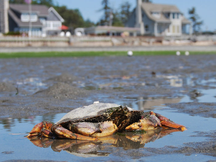 Animal Themes Crab Crustacean Focus On Foreground Low Tide Nature Sea Life Water Waterfront
