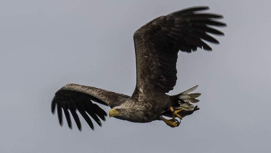 Low angle view of sea eagle flying against clear sky