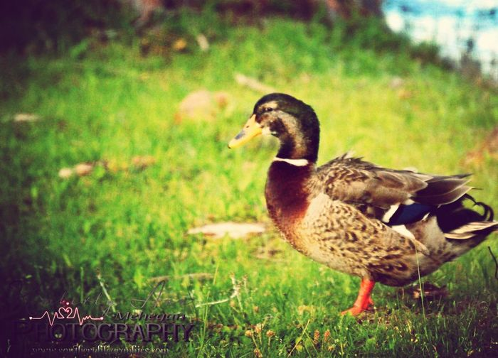 Just ducking