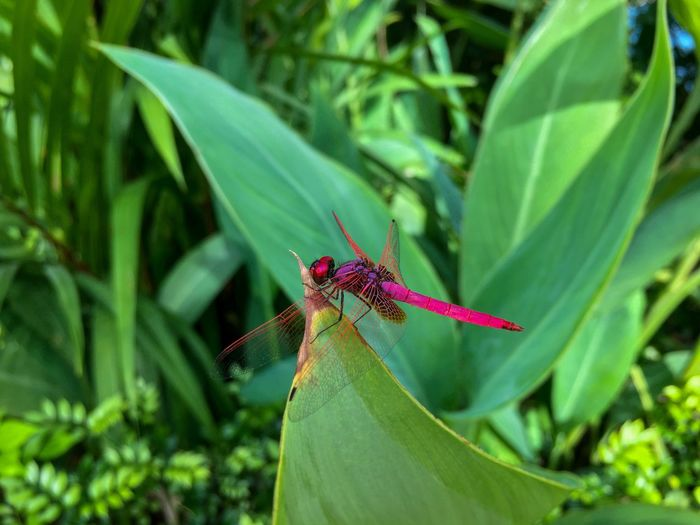 Pink dragonfly Crimson Dropwing Dragonfly Trithemis Aurora Crimson Marsh Glider Odonata Libellulidae Pink Dragonfly Luminous Pink Crimson Red Metallic Eyes Compound Eyes Red-veined Wings Transparent Wings Dragonflies Dragonfly Pasir Ris, Singapore September 2017 Outdoors Insect Invertebrate One Animal Animals In The Wild Animal Themes Animal Wing Close-up Focus On Foreground Leaf Green Color Nature Day No People