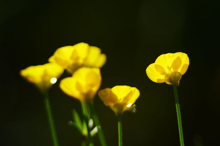 Buttercup. Beauty In Nature Blooming Botany Buttercup Flower Buttercups Buttercups In Full Bloom Close-up EyeEmFlower Eyeemflowerlover Eyeemflowers Flower Flower Head Focus On Foreground Fragility Freshness Growth In Bloom Macroflowerphotography Nature Outdoors Petal Plant Selective Focus Stem Yellow