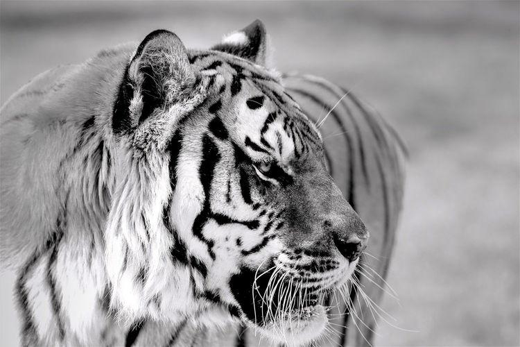 Close-up of tiger looking away
