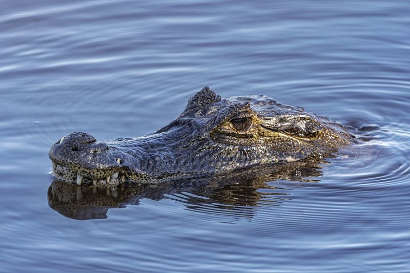 High angle view of crocodile swimming in water