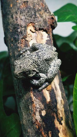 gargoyle Frog Treefrog Greytreefrog Stickyfingers Close-up