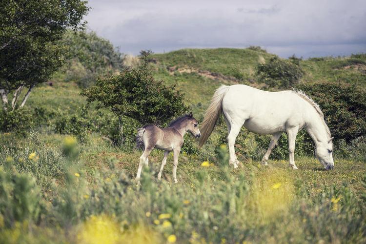 Wild pony mare