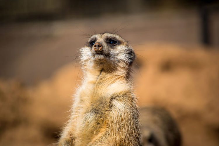The meerkat. Africa African Alertness Animal Animal Head  Animal Themes Animals In The Wild Close-up Curiosity Day Focus On Foreground Looking Away Mammal Meerkat Meerkats No People One Animal Relaxation Relaxing Sitting Wildlife Zoology Nature's Diversities