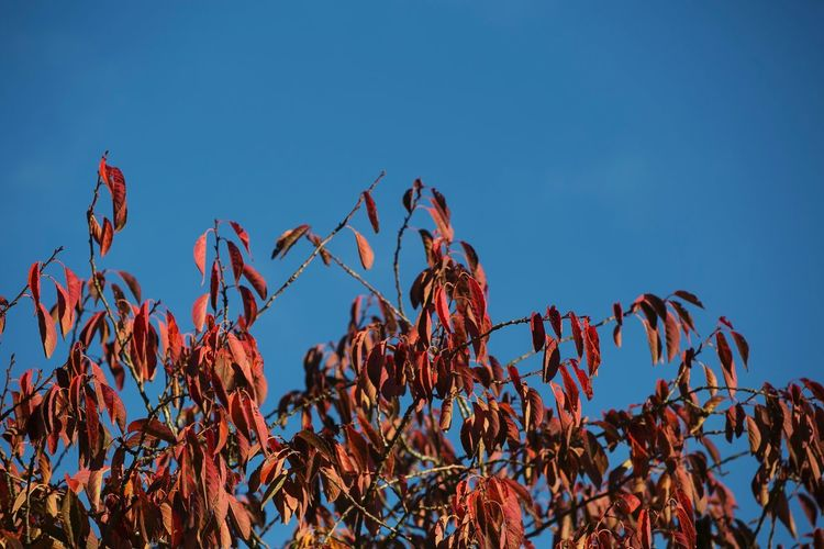 Clear Sky Low Angle View No People Beauty In Nature Autumn Colors Blue Sky Tranquility Calm Outdoors Escape Look Up And Thrive Look Up Skywards No Clouds Scotland Gillian McBain Photographer Plant Red Claret Blue Tree Leaves Red Leaves Nature_collection Room For Text