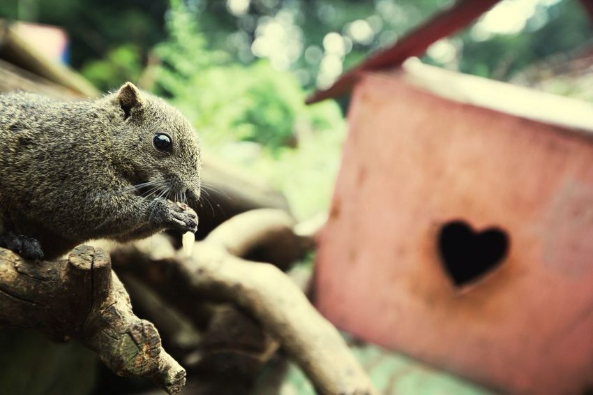 Squarrel Animals Heart Bokeh