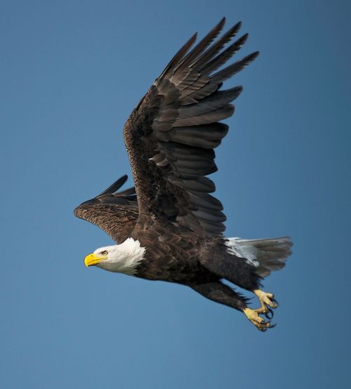 Bald Eagle Bald Eagle Portrait Animal Wildlife Animals In The Wild Bald Eagle Flying Bald Eagle In Flight Bird Bird Of Prey Flying Mid-air Nature One Animal Spread Wings